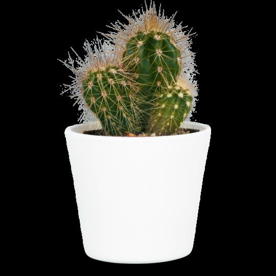 Steckbrief Kaktus