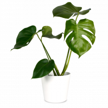 Steckbrief Monstera