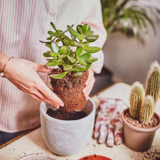 Pflanzen umtopfen Schritt für Schritt