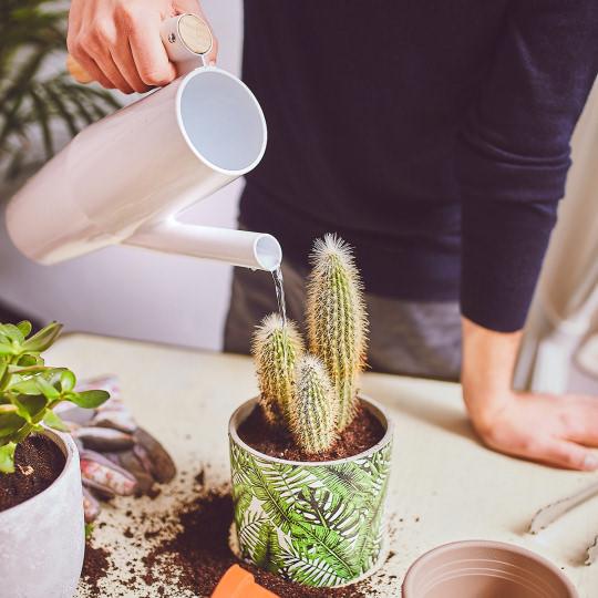 Kaktus nach dem Umtopfen gießen