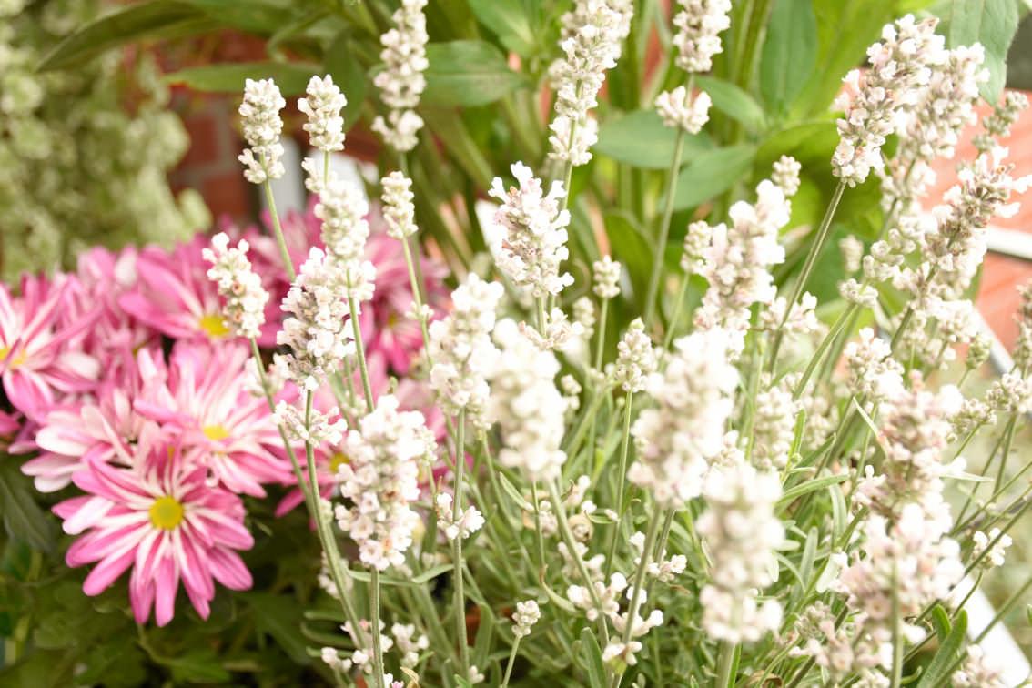 Lavendel für Insekten