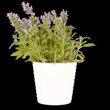Salbei Pflanze