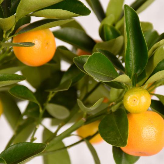 Orangenbaum pflegen