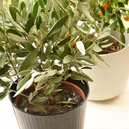 Überwinterung mediterrane Pflanze