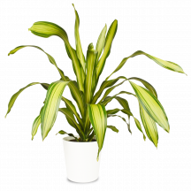 Drachenbaum Pflanze