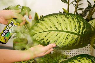 Grünpflanzen Blattpflege