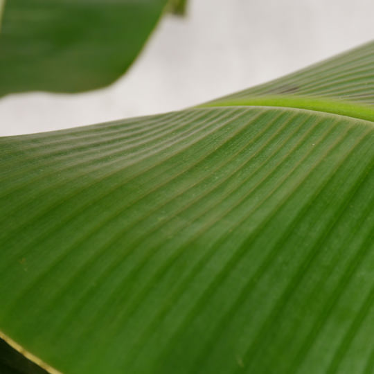 Musa Bananenpflanze pflegen