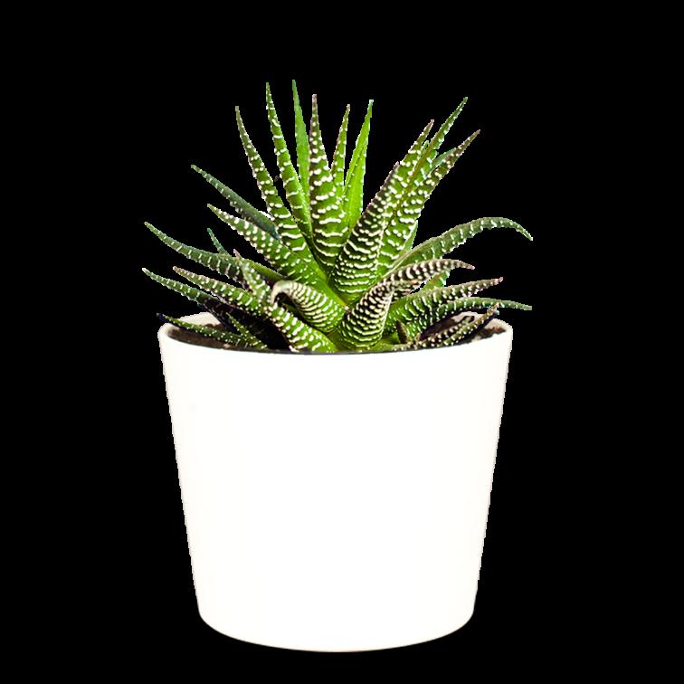 Zebra-Haworthie / Haworthia fasciata